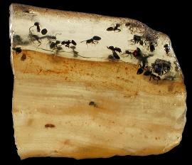 L'ambre nous prouve que l'histoire des fourmis est veille de 100 M.A. !