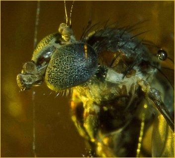 Et, si c'était l'odeur et la lumière de  la résine qui attiraient la mouche ?
